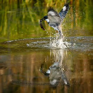 Belted Kingfisher:  emerging from the deep with a bull frog tadpole.  (I heard it plunge then waited for it to surface: a powerful flier)