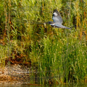 Belted Kingfisher with Bullfrog tadpole