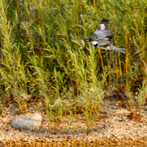 Belted kingfisher (imm. male) with bullfrog tadpole.