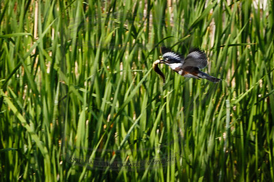 Belted Kingfisher with prey, 250'  (it looks like a huge tadpole..)