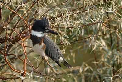 Belted Kingfisher - immature male the book says.