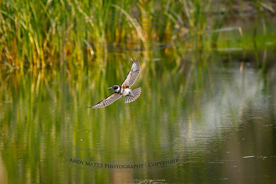 Belted Kingfisher (adult female) over D.Dell pond.