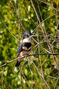 Belted Kingfisher - 250'