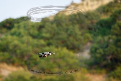 Belted Kingfishers do nothing slow..