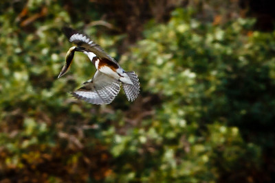 Belted Kingfisher, 270', with prey  (again, looks like a tadpole)
