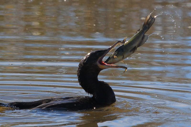 Cormorant with catfish
