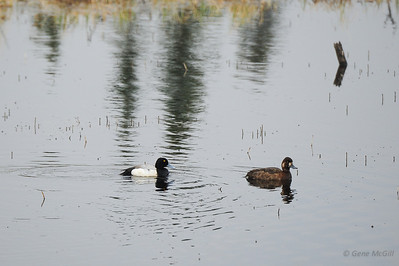 Greater Scaup, Denali Highway