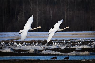 Trumpeter Swans, Creamers Field, Fairbanks, Alaska