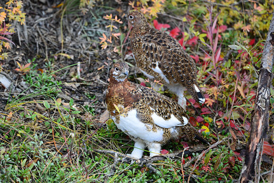 Ptarmigan in transitional plumage, Denali