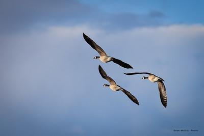 Canada Geese, Creamers Field, Fairbanks, Alaska