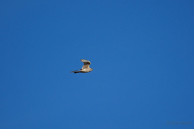 American Kestrel, Fairbanks