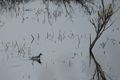 Red-neck Phalarope, Denali Highway