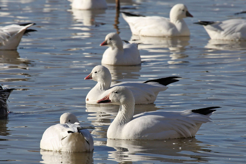 Ross's Geese (Behind a Snow Goose)