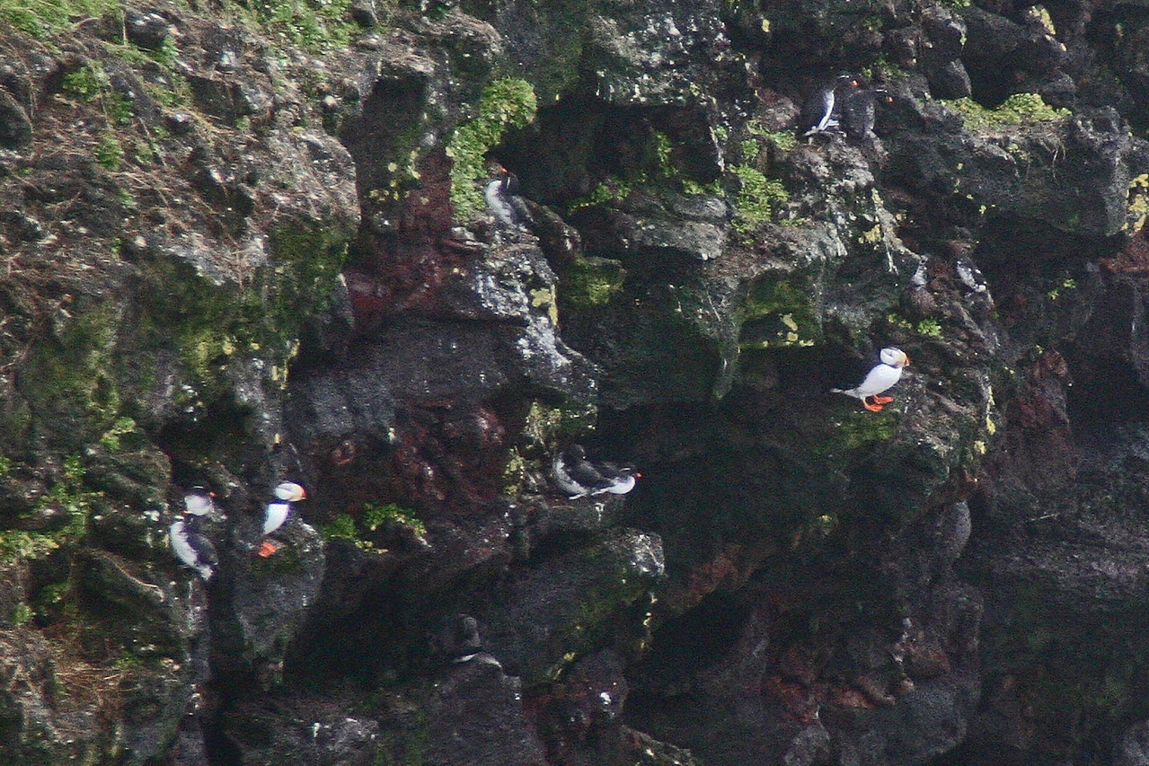 Horned Puffin with Parakeet Auklet