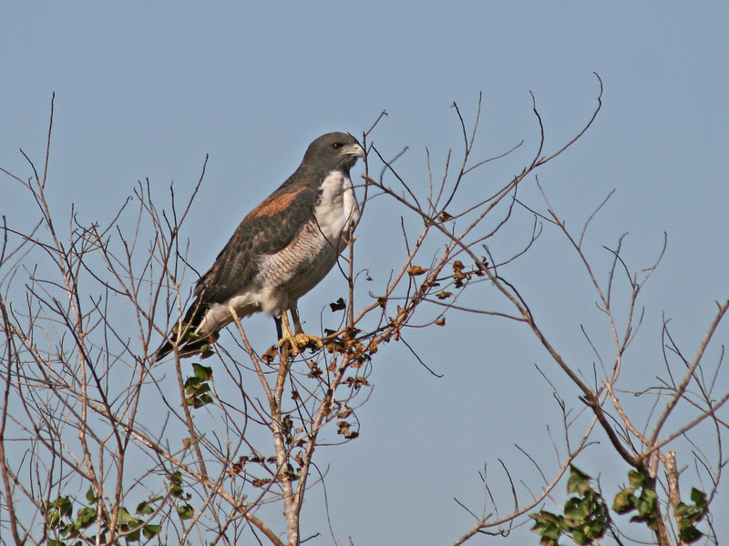 White-tailed Hawk