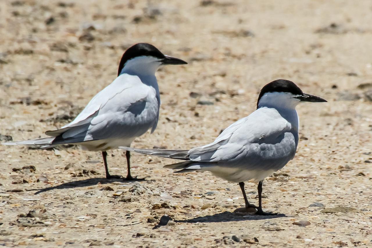 Gull-billed Terns