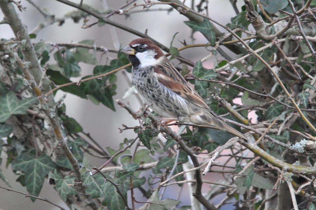 **** Sparrow, Spanish