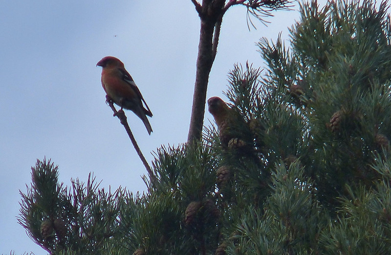 * Two Barred Crossbill