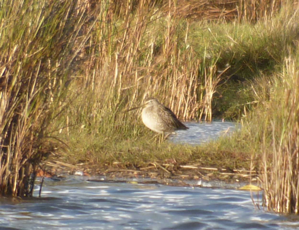 **** Dowitcher, Short Billed