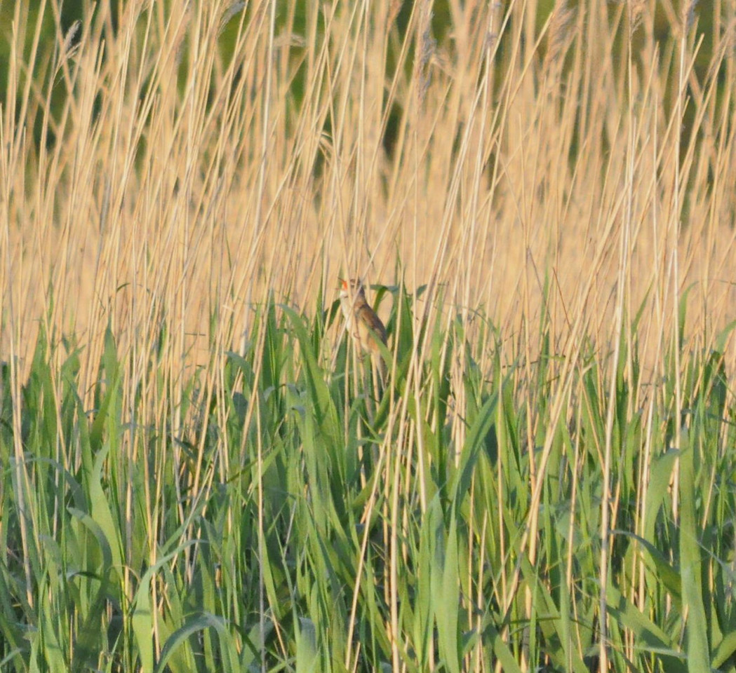 * Warbler, Great Reed