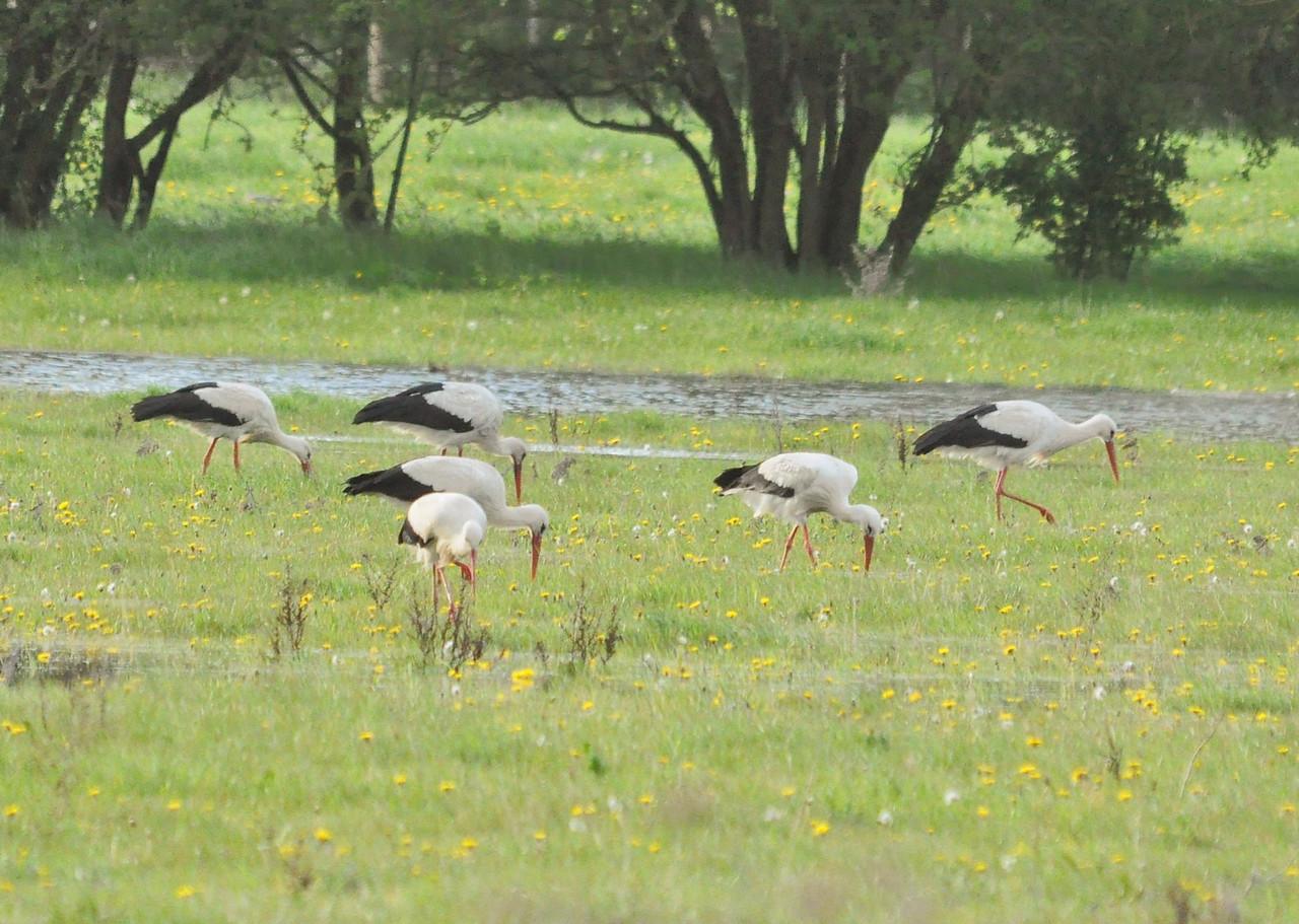 * Stork, White