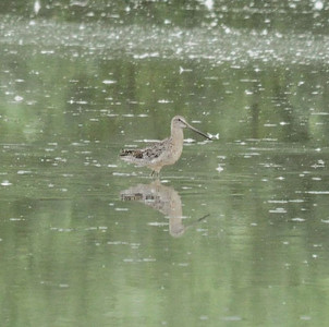 * Dowitcher, Long Billed