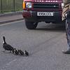 Norman bird herding