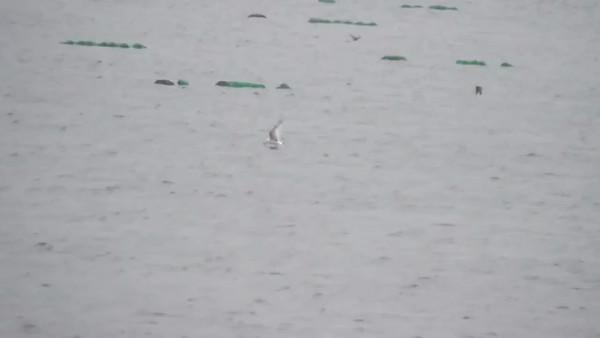 Black Tern , 2012