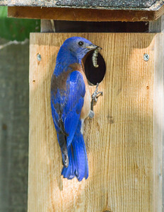 Western Bluebird, Grass Valley