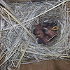 Newly hatched bluebirds in Grass Valley birdhouse