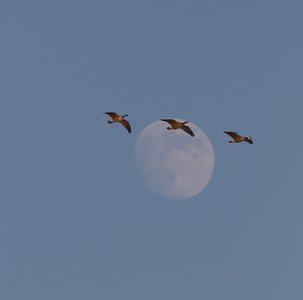 Geese over Hunter Moon