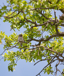 Northern pygmy owl  This fellow was awake and calling a one note hoot.