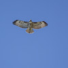 White-morph Red tailed hawk