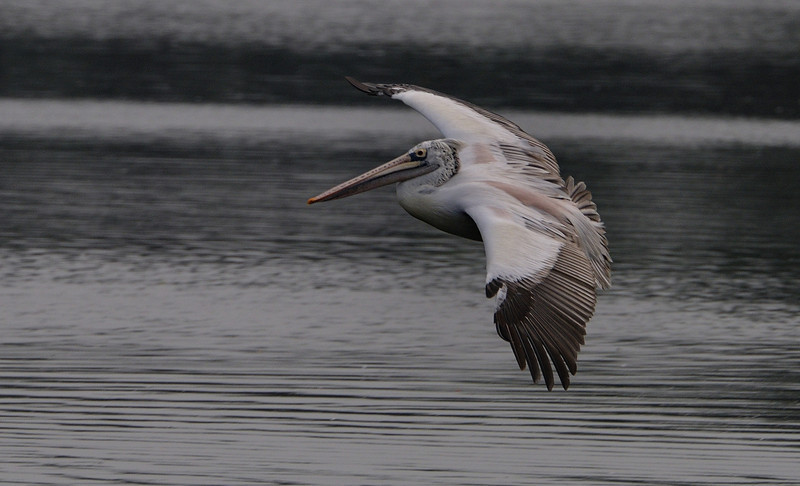 Pelican - Take off or Landing?