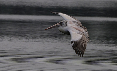 Pelican - Take off or Landing?