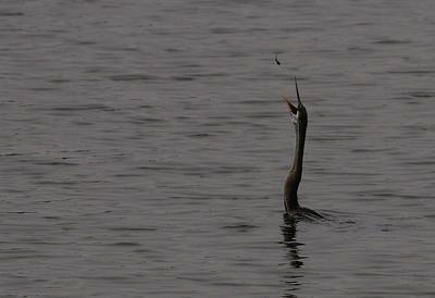 A fish to catch - Darter