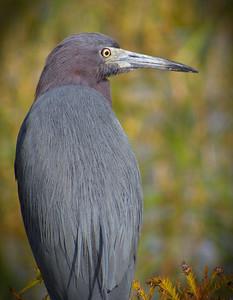 Little Blue Heron. Lake Henderson. Inverness, Florida