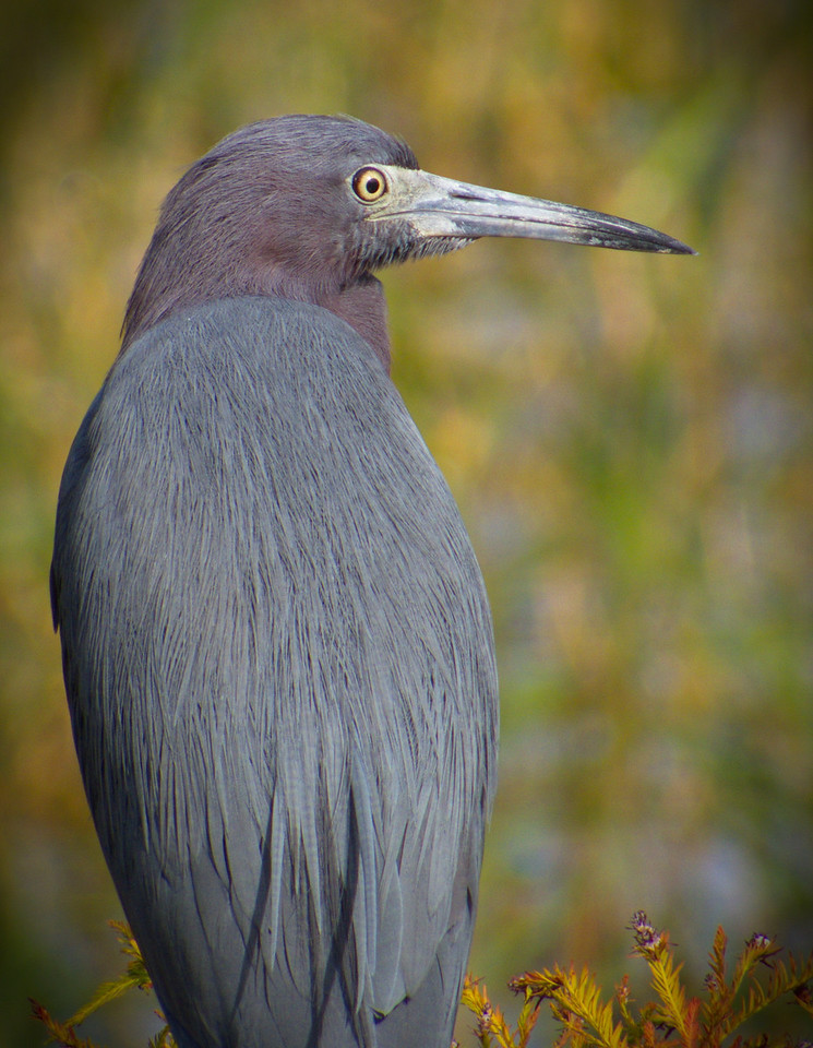 Little Blue Heron. Lake Henderson. Inverness, Florida