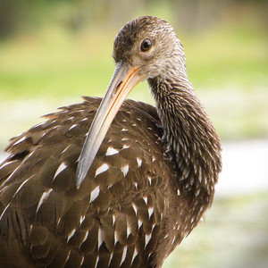 This limpkin was seen alone on the shore of Lake Henderson in central Florida in 2013.