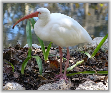 White ibis enjoying a wooly worm snack