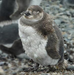 Yellow Eyed Penguin. New Zealand