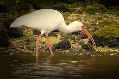 White ibis grabbing a crab snack
