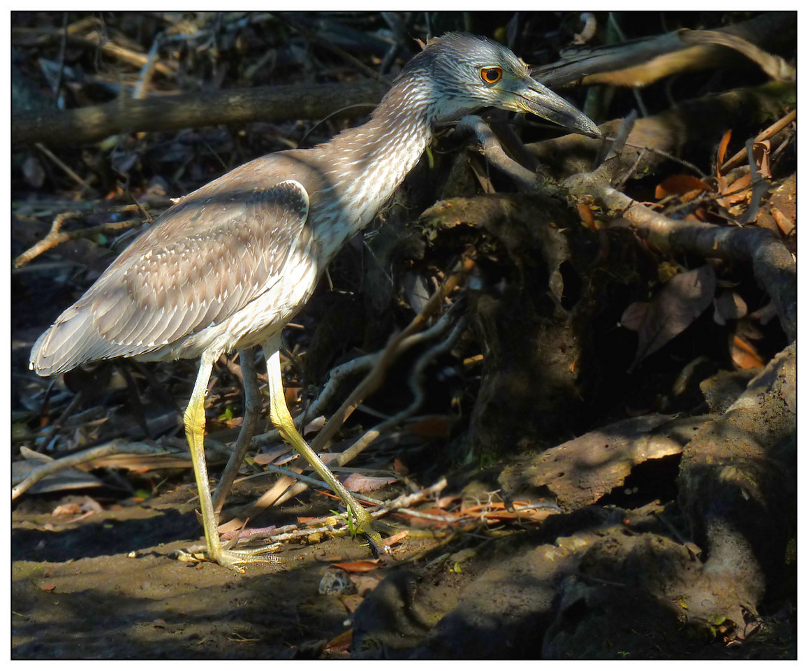 Little Blue Heron about to grab a crab snack