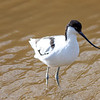 Avocet wading in water