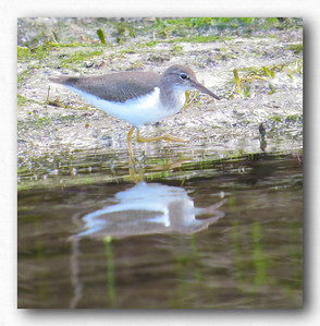 Sandpiper on Kings Bay