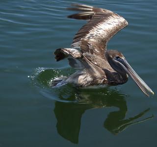 Pelican at touchdown