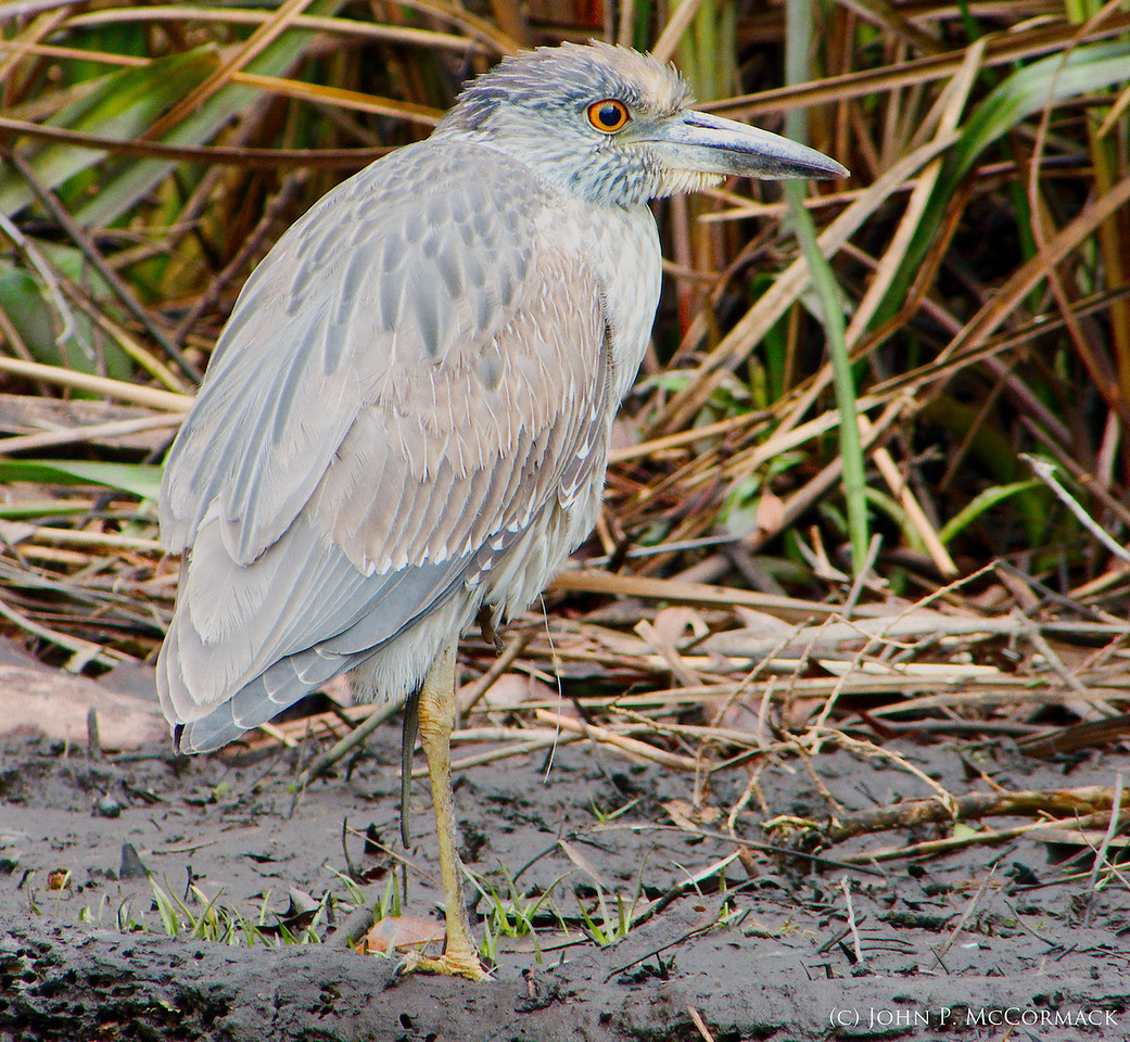 Little Blue Heron on a Cold Morning. Crystal River National Wildlife Refuge.