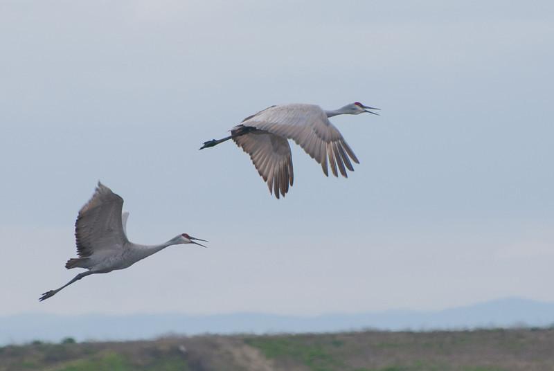 Sand-hill Cranes