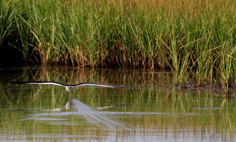 Black Skimmers are agile flyers, as this high speed pass and last second pullout attests. See next frame.