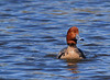 Redhead Duck, Feb 11,2012, Rockport Texas.